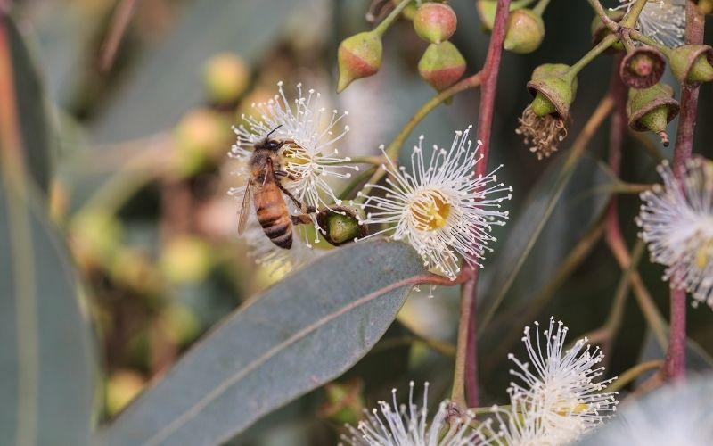 Miel d'eucalyptus : propriétés et bienfaits